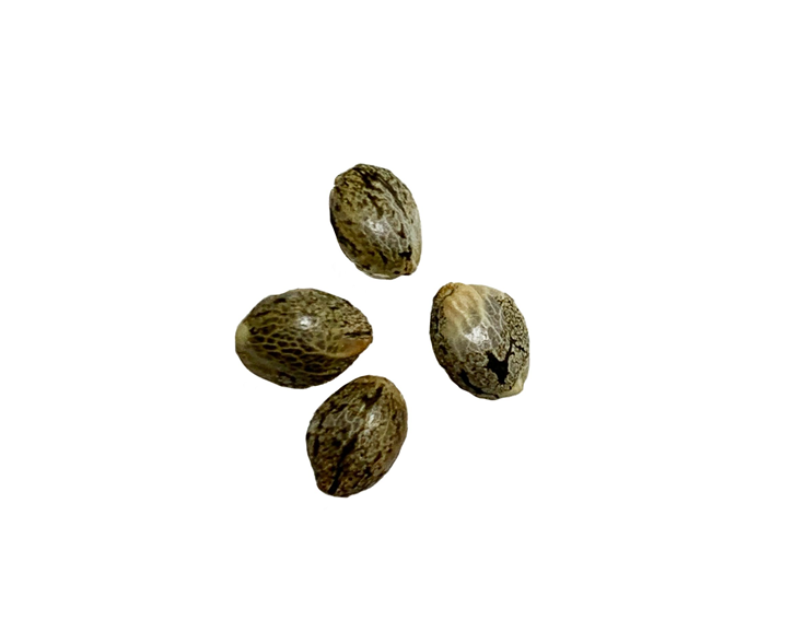 Northern Lights Autoflower Feminized - BOLD - Seed