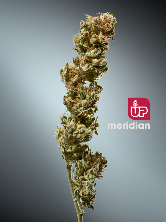 Meridian - Up - Dried Flower