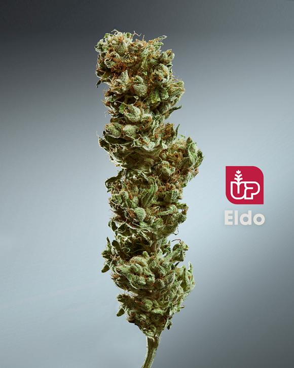 Eldo -Up - Dried Flower