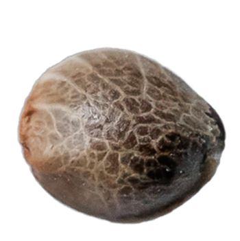 Muskoka Kush - 34 Street Seed Co. - Seeds