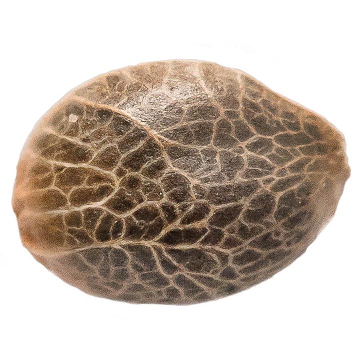 Bubba Kush 2.5 - 34 Street Seed Co - Seeds